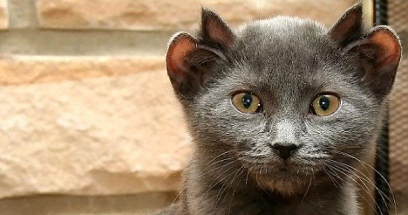 Kot z czterema uszkami